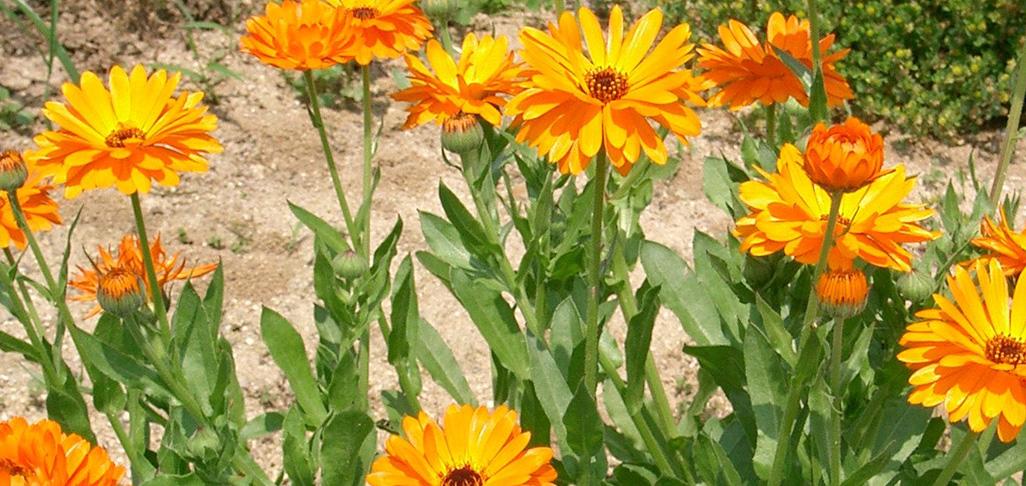 Melody Van Koughnett loves her marigolds!