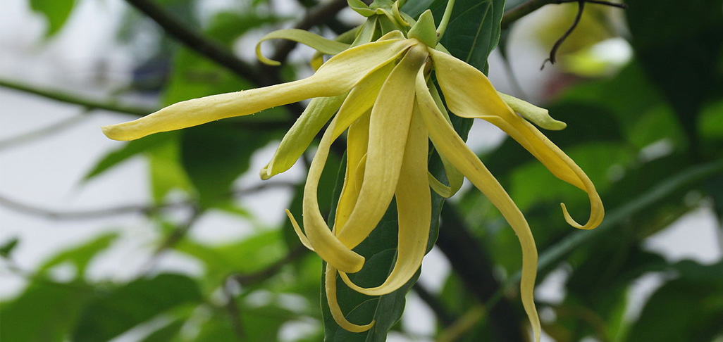 Melody Van Koughnett loves picking Ylang Ylang with girlfriend Yolanda Van Der Kolk