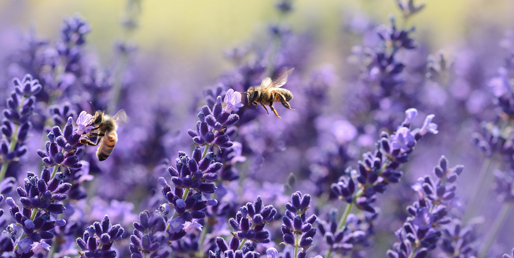 Lavender E.O. is a popular ingredient in many of Melody's Garden all-natuarl products